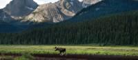 Un orignal parmi les Rocheuses dans le secteur Kananaskis | Travel Alberta