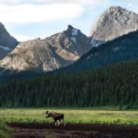Bull moose in Kananaskis, Alberta | Travel Alberta