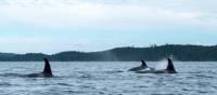 Observer les orques du détroit de Johnstone en kayak, C.-B.   Jenn Dickie Photography