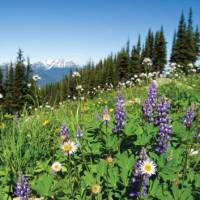 Summer wildflowers in the Coast Mountains, BC   Tourism Whistler/Mike Crane