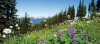 Les fleurs sauvages ajoutent à la beauté des montagnes de Whistler | Tourism Whistler/Mike Crane